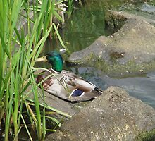 Mallard Drake Getting Comfy. by Sandra Cockayne