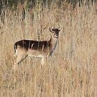 Fallow Deer_4626 by DutchLumix