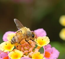 Bumble bee by CarmenLygia