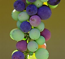 Rainbow Grapes - Hunter Valley, NSW by graphicscapes