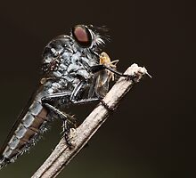 Robberfly with lunch by Andrew Durick