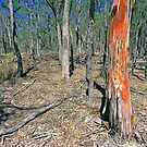 Red Gum Tree - Eucalypt forest, NSW, by Chris Ellis