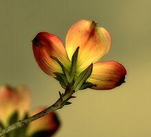 Dogwood Blossom by love2shoot
