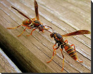 Dueling Wasps by Phil Campus