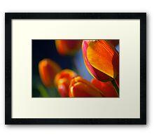 orange tulips, backlit, after the rain, late afternoon sun Framed Print
