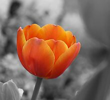Tulip on fire by Hege Nolan