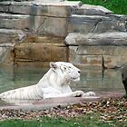 White Tiger in the Water by Kimberly Caldwell