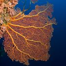 Gorgonian Fan - Rowley Shoals by idun0