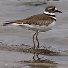 Killdeer by Dennis Cheeseman