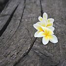 Frangipani blooms in the rain by fourthangel