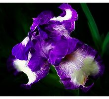 Bearded Iris by Elaine Game