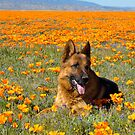 German shepherd - California poppy Fields by gsddame