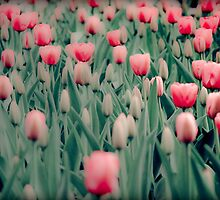 pink tulips by Jennifer Muller