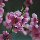 Peach Blossoms #1 by Edward A. Lentz