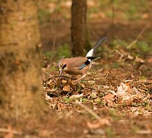 European Jay by Jon Lees