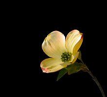 Dogwood blossom 2.... by DaveHrusecky