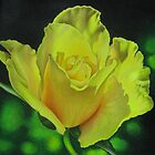 Yellow Rose - Midas Touch by lanadi