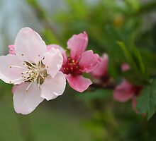 Peach Blossom 2 by seeddings
