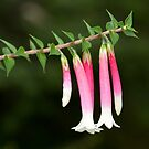 Fuchsia Heath - Epacris longiflora by Andrew Trevor-Jones