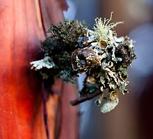 Lichen on Manzanita by Ed Lark