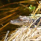 Baby Gator 2 by Howard & Rebecca Taylor