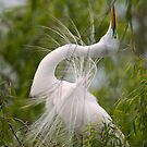 Great Egret in Courtship Dance by Bonnie T.  Barry