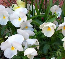 Lovely white pansies by daffodil