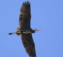 Great Blue Heron in Flight by Yannik Hay