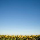 Sunflowers, Little Thetford, Cambridgeshire by SteveDubois