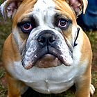 Bulldog by nataraki76