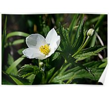 Canada Anemone Poster