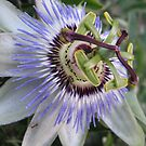 The Oddly Beautiful Passion Fruit Flower by Jennifer  Gaillard