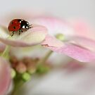 Ladybird on hydrangea by Ellen van Deelen