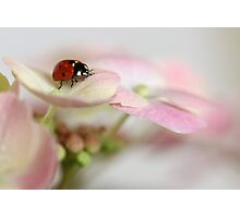 Ladybird on hydrangea Photographic Print