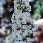 baby's breath in early spring by robyn poff