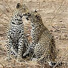 Mother And Daughter Leopards - South Africa by Michael  Moss