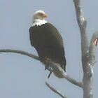 Bald Eagle by MaeBelle