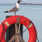 Laughing Gull At Lewes  by schiabor