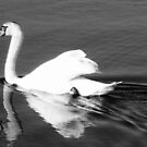 Swan black and white by schiabor