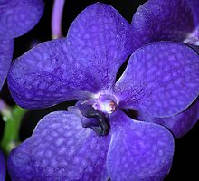 Indigo Orchids by Tina Longwell