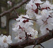 Apricot tree by Nina Zabrodina
