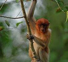 Baby  Proboscis Monkey  by leksele