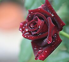 Water drops on Rose by TeAnne