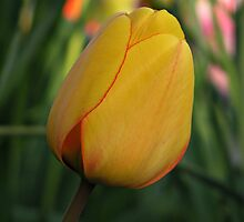 Yellow Tulip by Kathy Yates