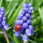 Grape Hyacinth &amp; visiting ladybird by hjaynefoster