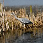Grey Heron RSPB Leighton Moss by Stuart1882