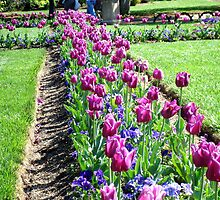 Don't Tiptoe thru these Tulips ^ by ctheworld