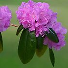 Pretty Pink Azaleas by Gene Walls