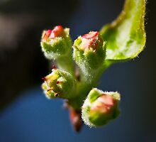 Apple Blossom Buds by LeeAnne Emrick