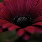 Purple Daisy in low light by photodork